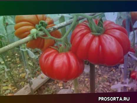 garden, советы огородникам, томаты, огород