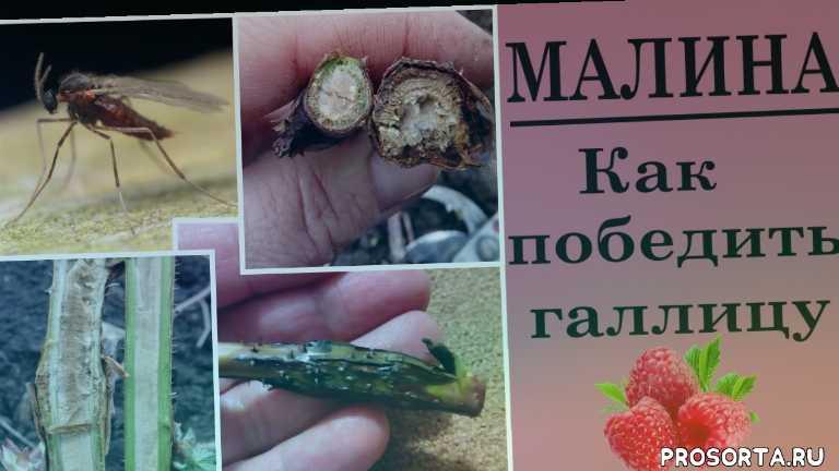 чем обработать малину весной, вредители малины видео, белые черви в малине, чем опрыскивать малину от червей, малина вредители галлица, борьба с малиновой галлицей, вздудия на малине, малина болезни и вредители