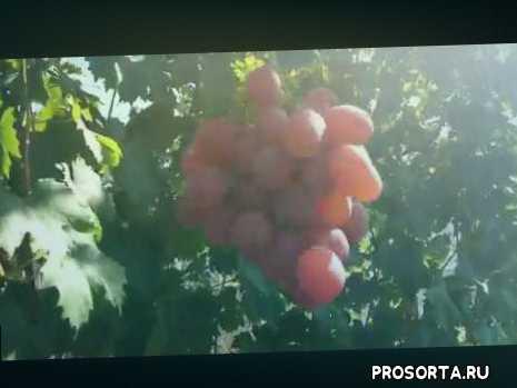 виноград в ставрополе, виноград сильно рослый, осами не повредился, устойчивый к болезням, ягоды малинового окраса, пивлекательный и вкусный рыночный виноград, вызревает в сентябре, виноград анюта красивый осенний мускат