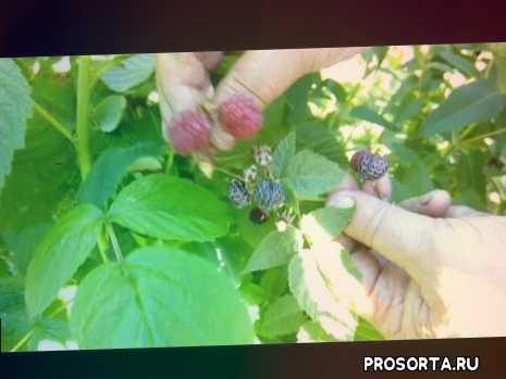неприхотливые растения, черная малина кумберленд, растения для полутени, болезни черной малины, как размножить черную малину, чем отличается ежевика от малины, лучшие сорта малины, малина на шпалере