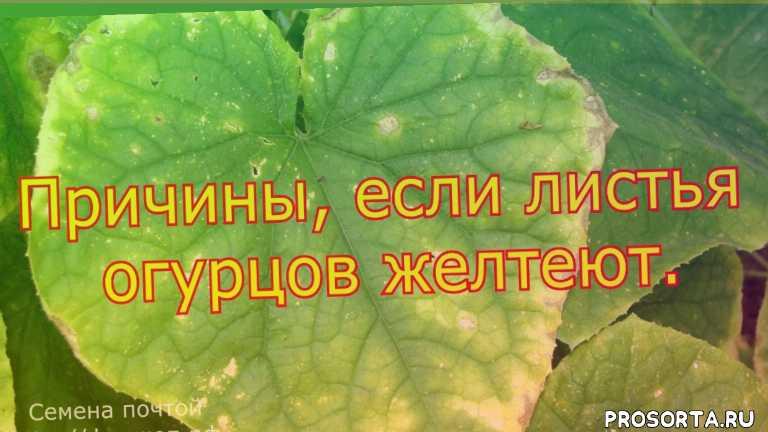 если листья у огурцов желтеют, что делать если листья огурцов желтеют и сохнут, что делать если листья огурцов желтеют и вянут, что делать если желтеют листья огурцов в теплице, если желтеют листья огурцов в теплице, если листья огурцов желтеют что делать, что делать если листья огурцов в теплице желтеют, если листья огурцов начали желтеть