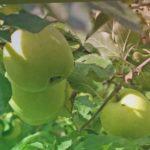 ЯБЛОНЯ МУТСУ белые яблоки, явблоня МЕЛЬБА красные яблоки