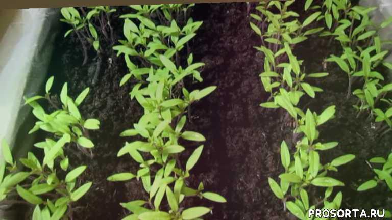 почему опадают семядольные листья на рассаде томатов