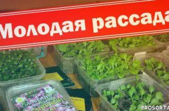 баклажаны из семян, цинерария из семян, петуния из семян, лобелия из семян, рассада лобелии, рассадник, гелиотроп, цинерарии