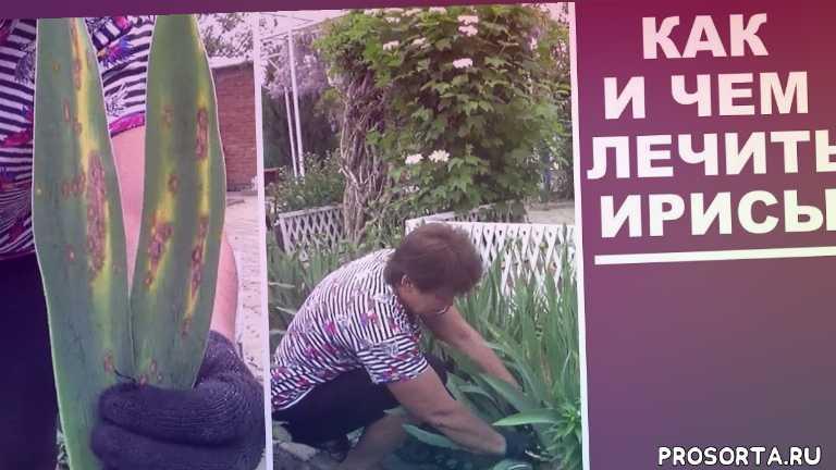 желтеет ирис, любимая усадьба, пятна на листьях ирисов, цветоводство, выращивание, размножение, как лечить, что делать