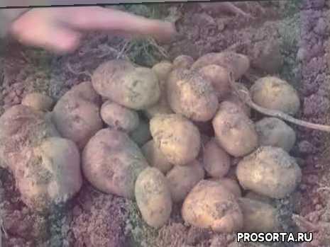 зеленый сад, картофель
