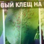 Вредители  груши и яблони . Вздутия на листьях груши  - галловый клещ