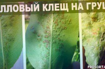болезни деревьев, любимая усадьба, органическое земледелие, парша на яблоне, здоровый сад, уход за садом, от болезней, от вредителей