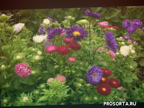 когда сеять астру на рассаду, подготовленный грунт, астра цветок, от посева до цветения, выращивание астры, выращивание астры от посева до цветения, канал цветы овощи и фрукты, популярный блогер