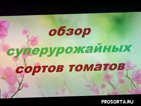томаты 2019, томат манимейкер, томат чудо света, томат тарасенко, супер урожайные сорта помидор, томаты супер урожайные, томаты обзор супер урожажайные, томаты обзор