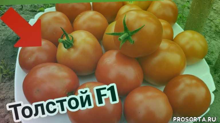алена шатковская, томат толстой, гибрид толстой, гибрид, толстой, красный томат, урожайный томат, томат