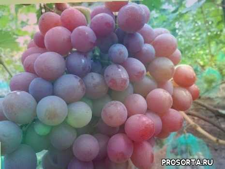 ყურძენი, szőlő, грозде, вінаград, grapes, ぶどう, hrozny, grožđe