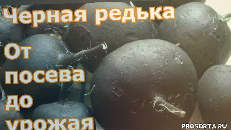 хранение редьки в подвале в песке, обработка урожая зеленкой, хранение черной редьки в домашних условиях, как хранеить редьку, когда убирать черную редьку, зимние сорта редьки, когда посеять редьку, сроки посадки черной редьки