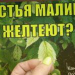 Хлороз малины. Почему желтеют листья у малины и что делать?