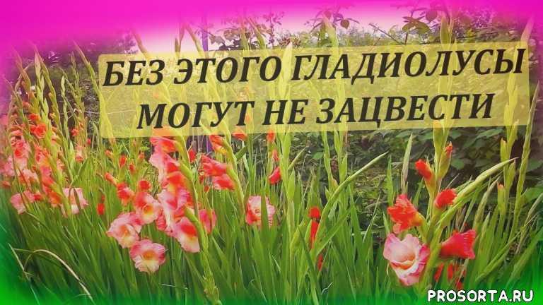 трипсы на гладиолусах, гладиолусы в июне, удобрение гладиолусов, подкормка гладиолусов, как выращивать гладиолусы, выращивание гладиолусов, обработка гладиолусов, гладиолусы посадка