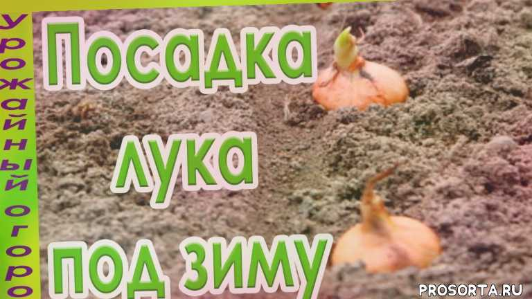 подзимний посев, осенняя посадка лука, лук осенью, лук под зиму, лук севок, посадка лука-севка, лук-севок, тонкости посадки лука