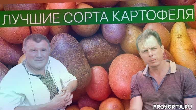 как выбрать картошку на посадку, как выбрать сорт картофеля для посадки, сорта картофеля в украине, лучшие сорта картофеля, сорт картофеля гала, ранние сорта картофеля, сорта картофеля характеристика отзывы, картофель описание сорта фото отзывы