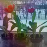 Выгонка тюльпанов в домашних условиях. Я сажаю.