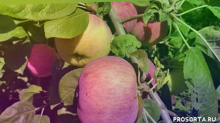 лучшие яблоки, лучший сорт яблок, урожайный сорт яблок, урожайная яблоня, мельба, яблоки ранние, мельба, сорт яблок мельба