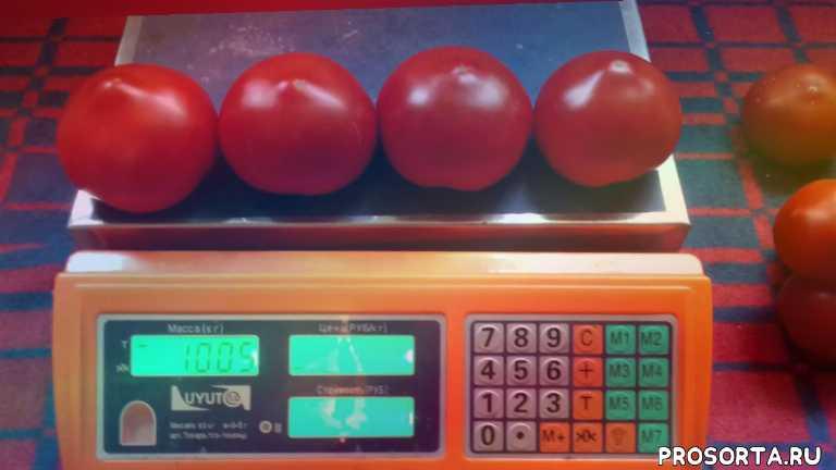 отзывы о томате, томат высокорослый, семена красного томата, отзывы о нада f1, отзывы о нада ф1, отзывы о томате нада, семена томата нада f1, семена томата нада ф1