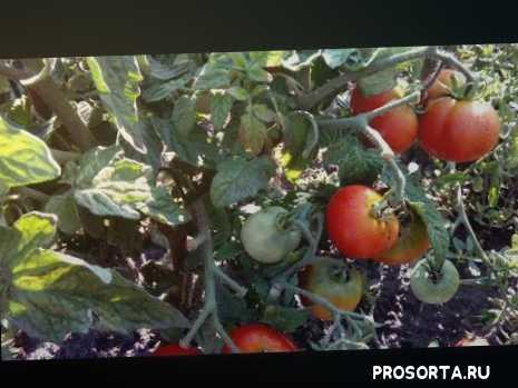 томаты для холодного климата, характеристика томата амурский штамб, самые устойчивые ранние сорта томатов, самый ранний штамбовый сорт томата амурский штамб, #дачный сезон круглый год, дачный сезон круглый год, #сорта томатов 2019, #томат на консервацию