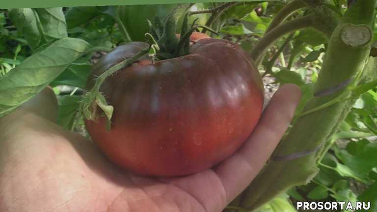 лпх арзамас, уход за томатами, выращивание помидор, помидоры, черный барон, сорта томатов, сорта помидор