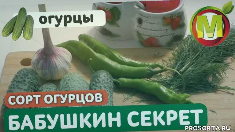 засолка огурцов, малосольные огурцы быстрого приготовления, огурец бабушкин секрет, агрофирма аэлита, профессор мамедов, борис мамедов, консервные огурцы, семена аэлита