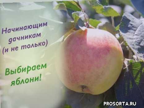 яблоневый сад, сорта плодовых, выбрать лучшие сорта яблок, выбрать сорт яблок, выбрать яблоню, описание яблони, яблоня весной, дача