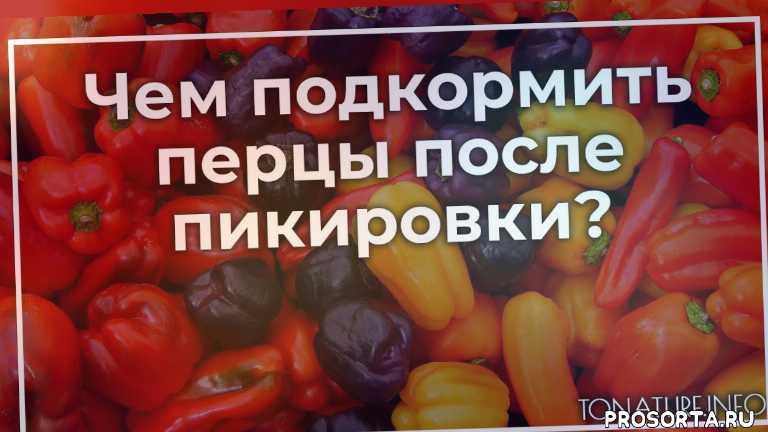 удобрение перца, перцы после пикировки, пикировка перца, подкормка перца, перец уход, условия для перцев, выращивание перца, перцы