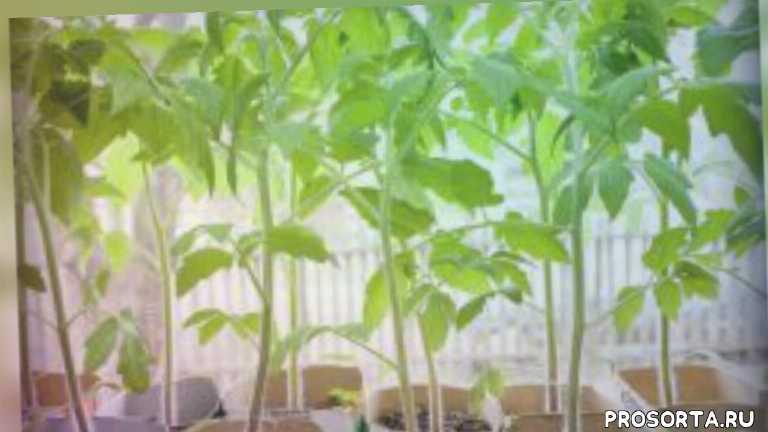совыты дачникам, советы огородникам, дача, огород, уход за рассадой, помидоры, рассада помидоров, если рассада вытянулась