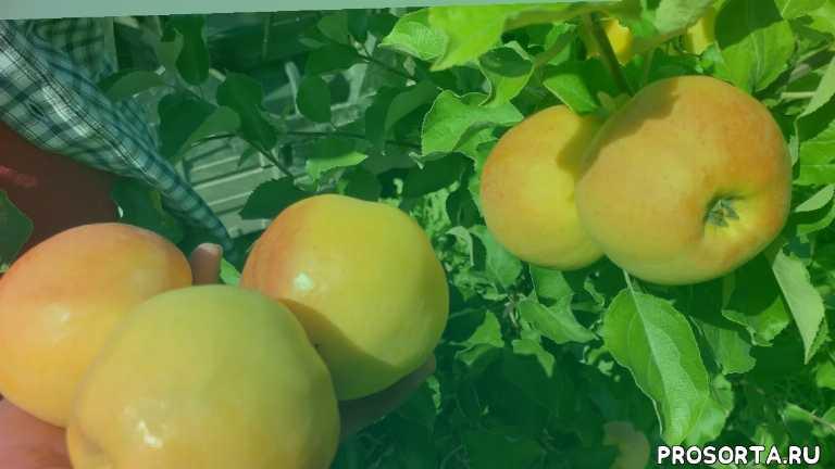 клоны антоновки, яблони, яблоня, летние сорта яблок, сорта яблок, сорта яблонь, яблоня сорт антоновка, антоновка золотая