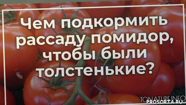 подкормка рассады помидор, удобрение рассады помидор, условия для рассады помидор, выращивание помидор, помидоры, рассада помидоры, ботаника, дачник