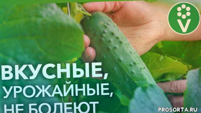 иван русских, procvetok, процветок, урожай, огурцы сорта, огурцы в теплице, как вырастить огурцы, лучшие сорта