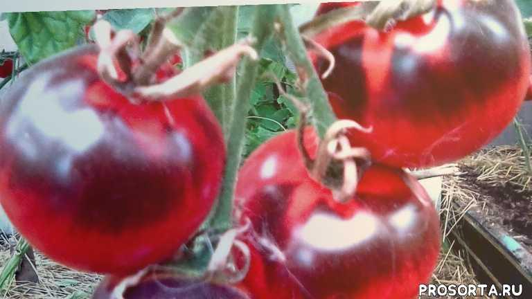 вкусные томаты, помидоры с антоцианом, томаты