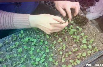 цветы, теплица, петунья из семян, выращивание петунии, пикировка петунии, петунии