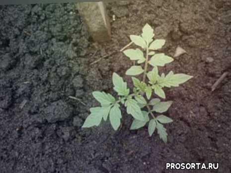 рассада томатов замерла в росте томаты не растут выращивание томатов