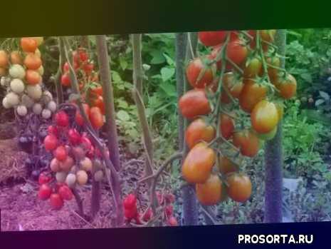 помидоры черри, томаты черри три цвета, томаты черри высокорослые, #сорта томатов 2019, #томат на консервацию, #сорта томатов для открытого грунта, какие помидоры буду сажать обязательно, #мой выбор сорта томатов 2019