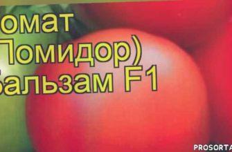 томат обыкновенный бальзам посадка и уход, томат обыкновенный бальзам уход, томат обыкновенный бальзам посадка, томат обыкновенный бальзам отзывы, где купить семена томат обыкновенный бальзам, купить семена томата бальзам, семена томат обыкновенный бальзам, видео томат обыкновенный бальзам
