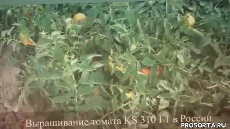 отзывы о томатах, купить семена томатов, семена томатов, купить семена овощей, семена овощей, купить семена китано, семена китано
