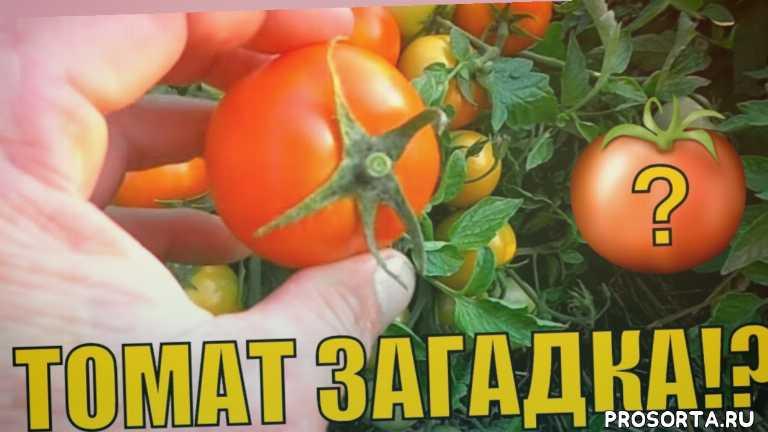 выращивание томатов, томат в открытом грунте, томат характеристики, томат открытый грунт, томат сорт, томат плод, томат урожайный видео, самые урожайные томаты