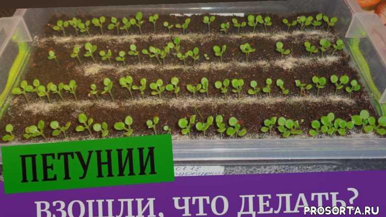 сеянцы, уход за лобелий, лобелия, выращивание цветов, цветы, сильная рассада, выращивание рассады, контейнер для петуний