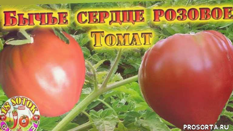 как вырастить помидоры, как вырастить томаты, сад и огород, рассада томатов, уход за помидорами, томаты уход, вкусные сорта томатов, урожайные помидоры