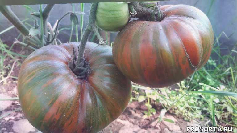 томат шоколадные полосы, шоколадные полосы, сhocolate stripes tomato, сhocolate stripes, полосатый шоколад, томат полосатый шоколад