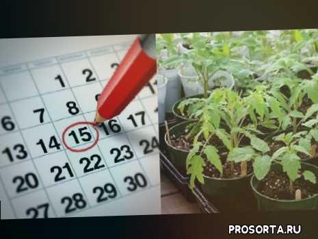 дом_rad, домрад, весна, садать рассаду томатов, сажать рассаду томатов, когда сажать рассаду томатов, апрель, время посадки рассады томатов