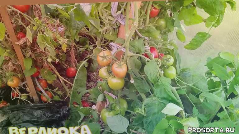 томаты для подмосковья верлиока интуиция гилгал
