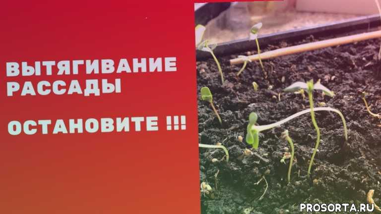вытягивание рассады, остановить вытягивание, урожай, падает рассада, болеет рассада, вытягивается рассада, обработка сада, марина цветы