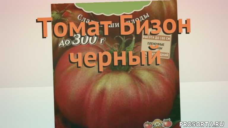 семена, семена томата бизон черный, томат обыкновенный бизон черный обзор как сажать, томат обыкновенный бизон черный обзор, томат бизон черный обзор как сажать, травы, обыкновенный томат бизон черный обзор как сажать, обыкновенный томат бизон черный обзор