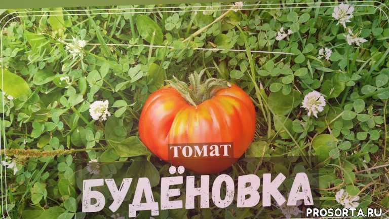 🍅 Томат БУДЕНОВКА| Крепкий середнячок