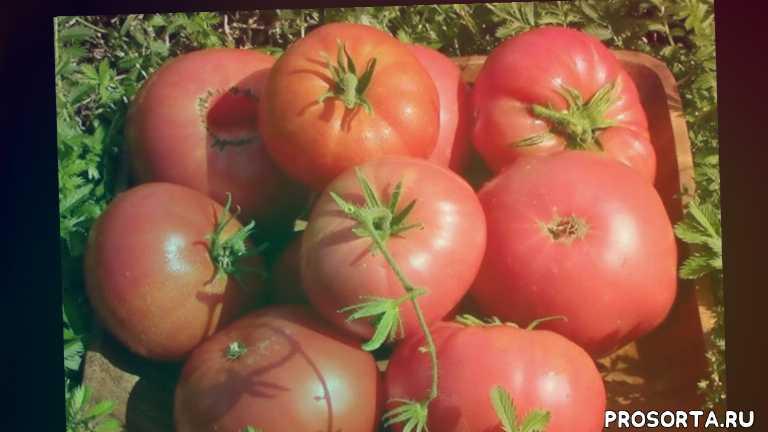 посадка томата рассады чем подкормить томат, подкормка томатов, томат розовый гигант характеристика и описание сорта уход за томатами в открытом грунте