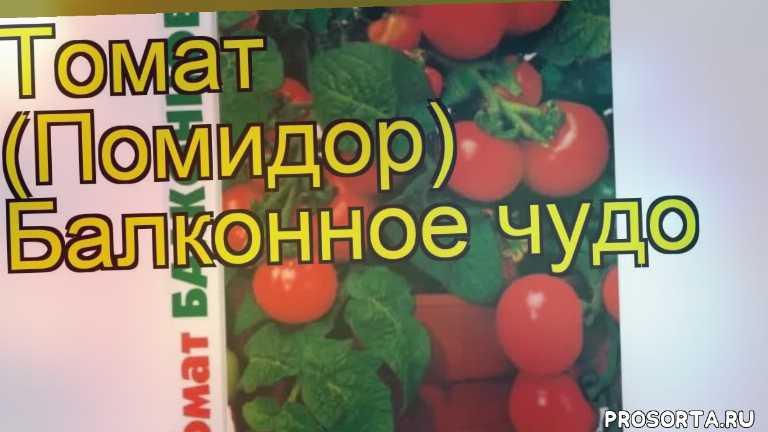 томат балконное чудо посадка и уход, томат балконное чудо уход, томат балконное чудо посадка, томат балконное чудо отзывы, где купить семена томата балконное чудо, купить семена томата балконное чудо, семена томата балконное чудо, видео томат балконное чудо